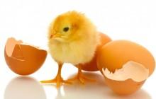 Ekim 2015 Ayında Kesilen Tavuk Sayısı 86 Milyon Adet
