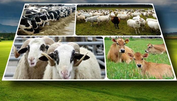 2016'da Hayvancılığa 3.2 Milyar TL Destek Verilecek