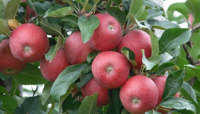 Tarımda Üretim Alanları Meyve Bahçelerine Kaydı