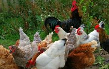 Ocak 2020 Kümes Hayvancılığı Üretimi