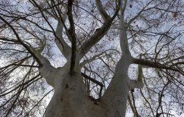 Hangi İlde Kaç Adet Anıt Ağaç Olduğunu Biliyor musunuz?